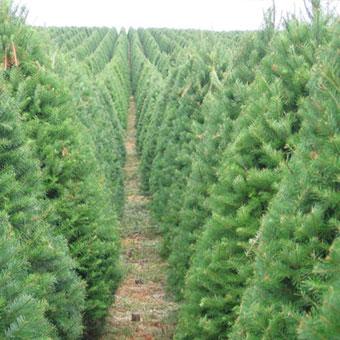 Douglas Fir – Pinery Christmas Trees